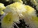 Бал хризантем._1